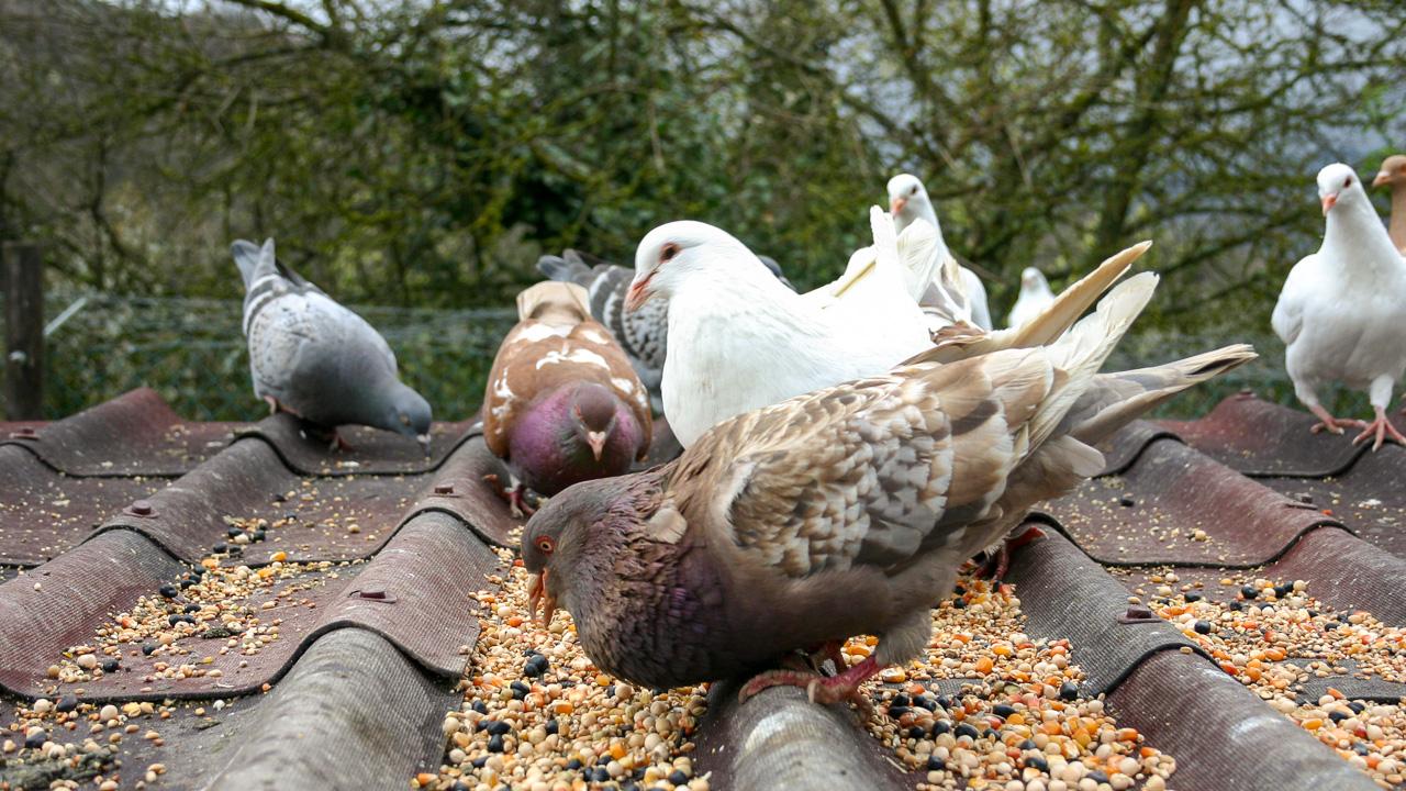 A voi piacciono i piccioni?